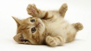 cat-wallpaper-16